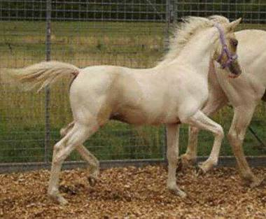 2013 Lemon and white colt