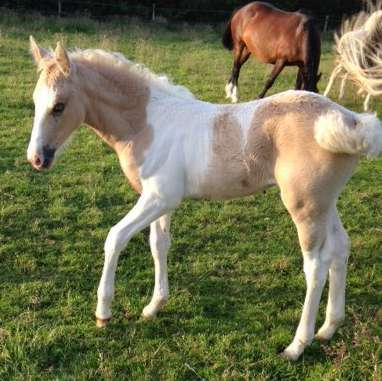 Lemon and white partbred filly